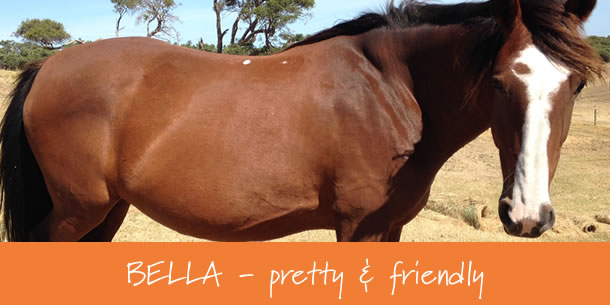 Bella Clydie Mare horse for sale Mornington Peninsula