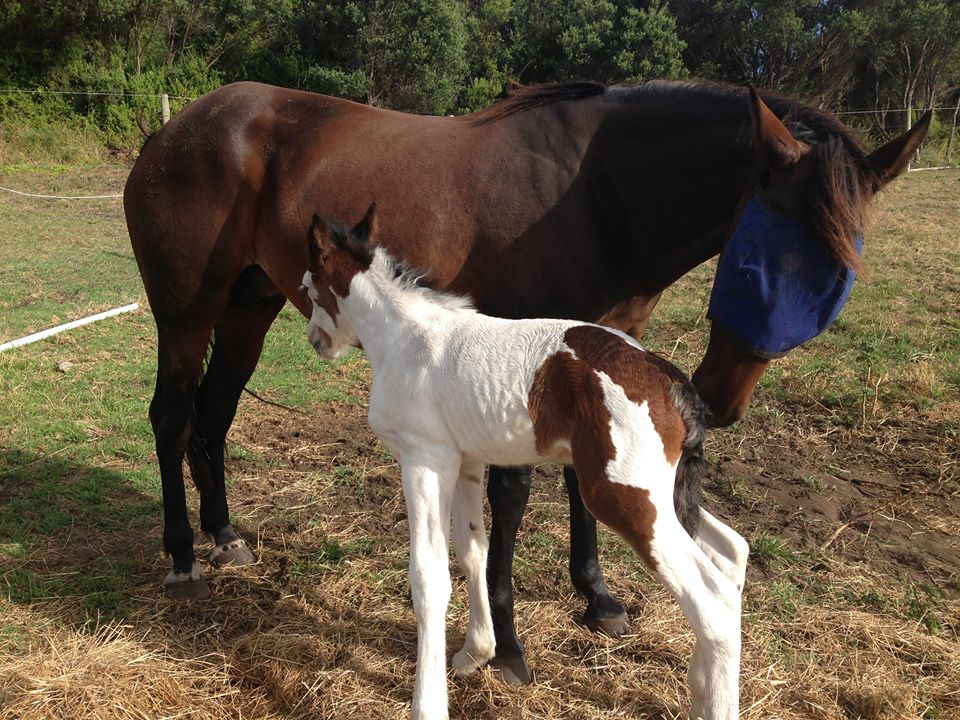 horse-breeding-program-victoria