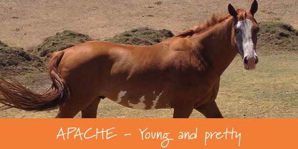 horse-for-sale-Apache-gunnamatta