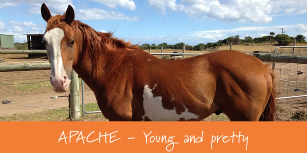 horse-for-sale-Apache-gunnamatta2