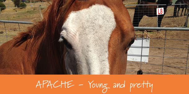 horse-for-sale-Apache-gunnamatta3
