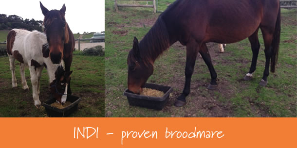 Indi - Standardbred Broodmare horse Mare for sale Mornington Peninsula